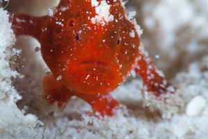 Baby Frogfish Face
