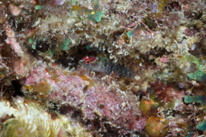 Chessboard Blenny