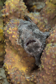 Gray Frogfish