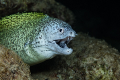 Green Spotted Moray