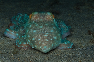 Night-Spotted Octopus