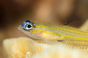 Peppermint Goby