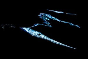 Diving Needlefish