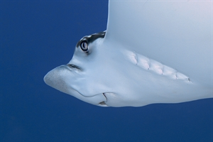 Eagle Ray Close Up