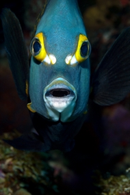 "Angelfish ""Face"""