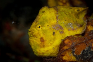 Frogfish Lure