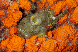 Frogfish Orange