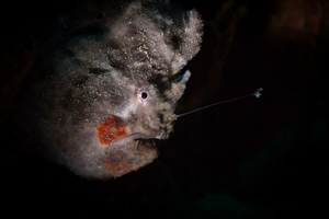 Frogfish Snoot