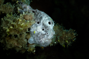 Gray & White Frogfish