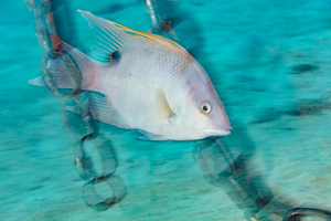 Hogfish & Chains