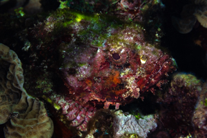 Spotted Scorpionfish