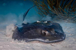 Mating Southern Stingray